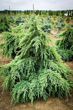 "Taking A Chance On Eremophilas GardenDrum. Info About The Clone Only Cannabis Strain ""Blue Dream . Kalmia Latifolia Mountain Laurel World Of Flowering Plants - Accent Chairs Ideas For Home"