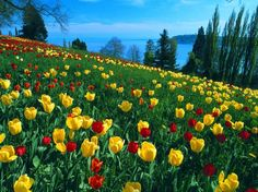 Field of Tulips Post in Pixel of Colorful Tulips in Full Bloom, They Are Easy to Apply and Shall Look Good – HD Natural Scenery Wallpaper Bulb Flowers, Tulips Flowers, Flowers Nature, Spring Flowers, Beautiful Flowers, Beautiful Pictures, Colorful Flowers, Hydrangea Flower, Flowers Wallpaper