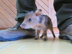 When it grows up, it will not be that cute, but let us live in this moment when it is shoe-sized and OMG lookit, those little hooves!