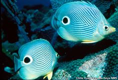 The Four-eye Butterfly Fish (Chaetodon capistratus) inhabits the reef environment of the Florida Keys. They mate for life and therefore you will often see two of them. If you can imagine two butterfly fish nose to nose, they look like a butterfly.