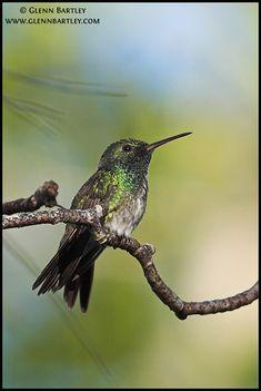 Mangrove Hummingbird by Glenn Bartley
