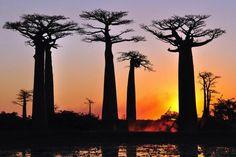 Bei einer Wanderung durch die zum Weltnaturerbe erklärten Tsingys erkunden Reisende die kleinen spitzen Kalk-Felsnadeln im Bemaraha-Nationalpark. In Morondava angekommen, steht der Besuch der berühmten, weltweit einzigartigen Baobab-Allee auf dem Programm. Hier wird die Reisenden der Sonnenuntergang über der majestätischen Baobab-Allee verzaubern – ein absoluter Höhepunkt einer jeden Madagaskarreise! Foto: Baobabs in der Abendsonne © DIAMIR Erlebnisreisen