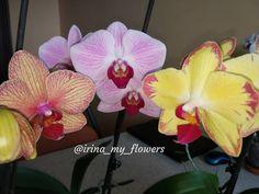 209 отметок «Нравится», 11 комментариев — myflowers (@irina_my_flowers) в Instagram: «Три девицы под окном...😁 Обожаю когда с каждым днём раскрывается все больше бутонов 💗 . . .…»