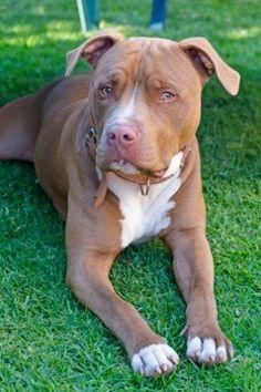 American Pitbull Terrier - El American Pitbull Terrier es una raza canina, originaria de Estados Unidos y descendiente del Bulldog inglés original. El APBT es un perro atlético, adaptable e impaciente entre la vasta familia canina