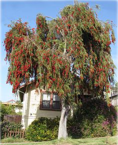 Callistemon viminalis - Weeping Bottlebrush Has Evergreen foliage Height: 15 - 20 feet Width: 15 - 20 feet Showy Red Flowers in Spring or Summer Trees For Front Yard, Front Yard Decor, Street Trees, Tree Seeds, Exotic Flowers, Red Flowers, Backyard Projects, Garden Trees, Trees And Shrubs