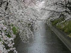 五条川の桜並木写真1*****
