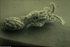 A microscopic view of a female, cholera-carrying copepod.