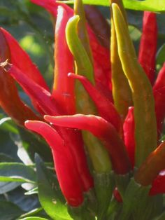 Capsaicin for allergies, colds and weight loss!