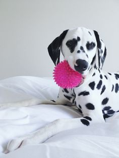 @viljodalmatian dalmatian