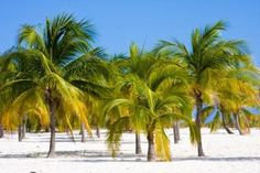 palm trees with yellowing fronds