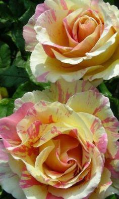 Rosas con matices.