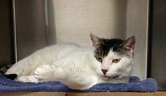 Sir Puddin Pop is a very sweet and handsome male cat who is around 10 years old. He was surrendered from an owner who was moving and couldn't take his two cats with him. Puddin, as his friends call him, may seem shy at first but once you pet him, he...