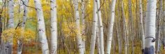 Aspen Trees in a Forest, Colorado, USA Photographic Print by Panoramic Images at Art.co.uk