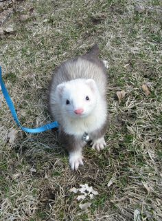 Sweet ferret named Oscar\ i miss having a ferret