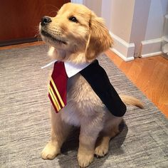 Harry Potter Costume DIY Harry Potter Halloween Dog Costume IdeaDog (disambiguation) A dog is a mammal. Dog or dogs or The Dog may also refer to: Cute Funny Animals, Cute Baby Animals, Cute Dogs, Pet Halloween Costumes, Diy Dog Costumes, Costume Ideas, Halloween Puppy, Halloween Ideas, Puppy Costume