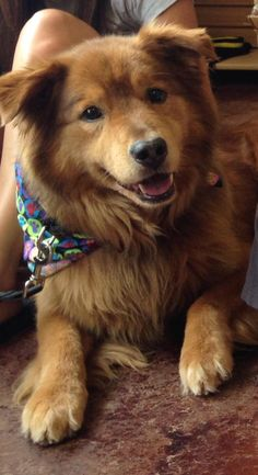 Meet Tripper, a Petfinder adoptable Golden Retriever Dog | Columbia, MO | This is Tripper and he is as sweet as his face.  Tripper is a laid back guy who enjoys love,...