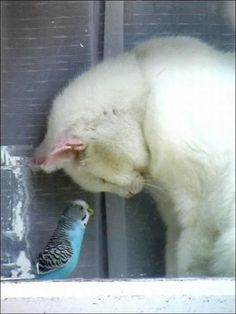 "Cat: ""I Bow To Thee ~ Your Imperial Majesty ~ Mr. Budgerigar."""
