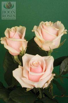 Talea, my absolute favourite rose. Blush Pink Wedding Flowers, Blush Pink Weddings, Pink Roses, One Rose, Fondant Flowers, Flower Ideas, Our Wedding Day, Garden Styles, Yard Art