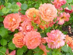 Rosa 'Easy Does It' - the one and ONLY 2010 AARS award winner for the year. Disease resistant, bushy, vigorous - and fragrant. So. What are you waiting for?