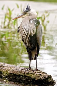 Love Great Blue Heron, got to see one standing next to me while hiking!!