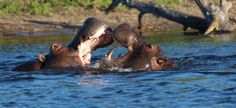 How amazing is this picture that was captured? Two hippo's playing/fighting in the Chobe River in Botswana. Chobe National Park, National Parks, Travel Deals, Us Travel, Different Types Of Animals, Victoria Falls, Lodges, Safari, Tours
