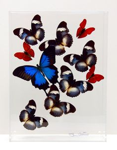 9 x 12 x 3 deep Display with Ulysses Butterfly by stevenalbaranes