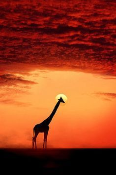 Giraffe in orange sunset.
