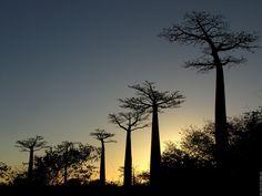 Madagascar madagascar  alleebaobab09web