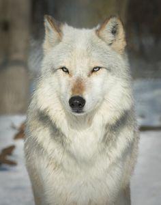 "Онлайн психолог домашних питомцев - animal psychology https://www.facebook.com/animal.psychology Психолог онлайн. ""Психология личного пространства"" http://psychologieshomo.ru Wolf"