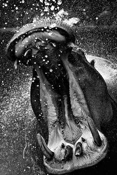 Hippo bubbles...