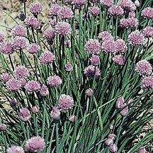 Chive Herb- A member of the onion family with milder flavor. Widely used for seasoning. Lavender-pink flowers. Perennial.