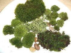 Live Moss Assortment for Terrariums - Frog, Haircap, Cushions, Rocks, Lichen Terrarium Moss http://www.amazon.com/dp/B007KD954C/ref=cm_sw_r_pi_dp_FXfEwb0WAN9VZ
