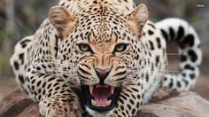 leopard - Google Search