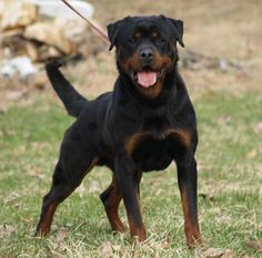Rotweiler, definitely the type of dog I'm getting