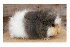 Swiss Breed guinea pig