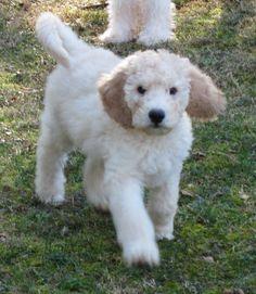photos of labradoodle puppies - Google Search