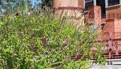 manjericão (Ocimum basilicum)