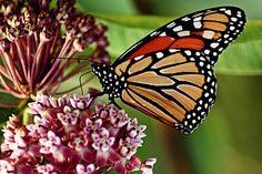 ~~ Monarch Butterfly ~~
