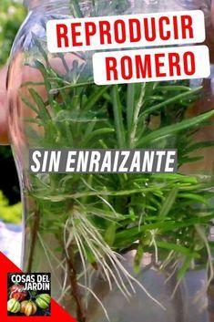 Rosemary is not only an amazing addition to our food, but also have baffling health benefits! Check how to grow Rosemary and why you should! Terrace Garden, Garden Planters, Herb Garden, Garden Paths, Inside Plants, Succulents In Containers, Bonsai Plants, Exotic Plants, Green Life