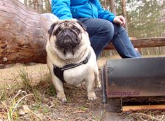 The pug Valli at outdoor - http://europug.eu/the-valli-outdoor/