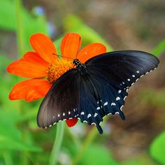 Pipevine Swallowtail Butterfly Battus philenor