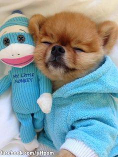 Snoozing Pomeranian