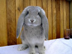Must have this French Lop <3