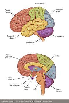 Brain Anatomy And Function, Human Brain Anatomy, Nerve Anatomy, Human Anatomy And Physiology, Brain Science, Science Education, Health Education, Physical Education, Brain Diagram