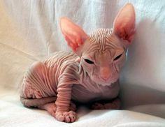 More Sphynx kitties!