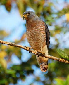 Roadside Hawk, Quepos, Costa Rica. Photo by Suzanne Britton