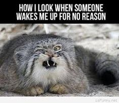 Funny pictures about My Face When Someone Wakes Me Up. Oh, and cool pics about My Face When Someone Wakes Me Up. Also, My Face When Someone Wakes Me Up photos. Animal Captions, Funny Animals With Captions, Funny Animal Photos, Funny Pictures With Captions, Funny Animal Memes, Picture Captions, Funny Images, Best Funny Pictures, Funny Photos