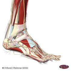 PLANTAR FASCIA AND ARCH MUSCLES