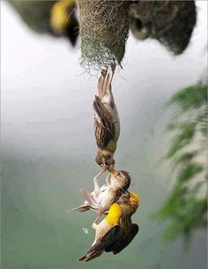 Parents getting their fallen baby back into the nest...I guess parenting is tough no matter what your species....