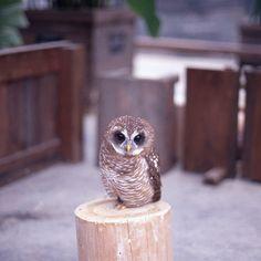 Baby Hedwig Owl